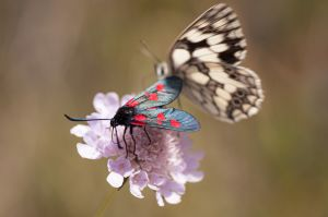 narrow-bordered five-spot burnet (and marbled white)